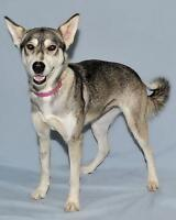 "Young Female Dog - Husky: ""Mika"" Gatineau Ottawa / Gatineau Area Preview"