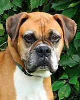 "Adult Male Dog - Boxer: ""Gibson"""