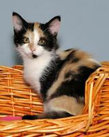 "Baby Female Cat - Tortoiseshell: ""Apricot"" Ottawa Ottawa / Gatineau Area Preview"