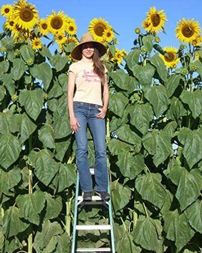 25 Skyscraper Sunflower Seeds Non-GMO Heirloom | USA Seller