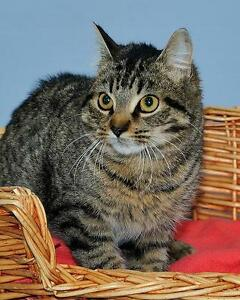 """Young Male Cat - Tabby - Brown: """"Fletcher"""""""
