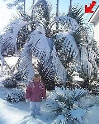 Himmalaya Palmen Pflanzen Hecken für den Garten mehrjährig winterhart immergrün