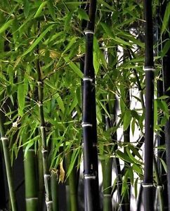 Phyllostachys nigra (Black Bamboo) - 50 Fresh plant seeds UK SELLER