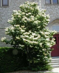 40+ JAPANESE TREE LILAC / HARDY PERENNIAL / MOST POWERFUL LOVELY FRAGRANCE