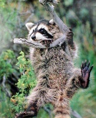 Raccoon Kit Hanging Around The Tree Wild Animal Wall Decor Art Print (16x20)