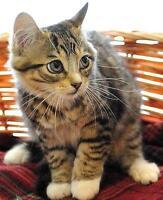 "Baby Male Cat - Tabby - Brown-Tabby - buff: ""Ripple"" Ottawa Ottawa / Gatineau Area Preview"