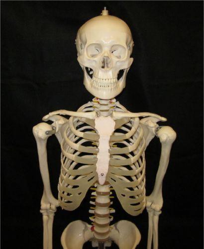 human skeleton | ebay, Skeleton