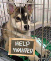 """Young Female Dog - Siberian Husky: """"**FOSTERS NEEDED**"""""""