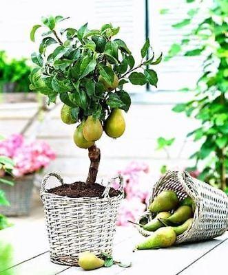 50 Pcs Dwarf Pear Tree Seeds Perennial Bonsai Fruit Seeds For Home Garden