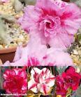 Adenium Neutral Cactus & Succulent Plants