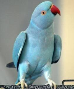 baby blue indian ringneck parrot friendly handfed for sale