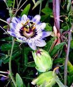 Passiflora Winterhart