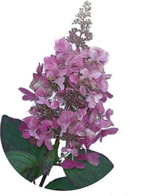 NKY WINKY - Pflanze Hortensie wechselnde Blütenfarbe NEUHEIT (Pinky Winky)