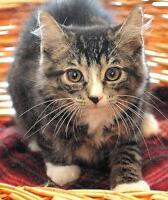 """Baby Male Cat - Tabby - Brown-Tabby - black: """"Smudge"""" Ottawa Ottawa / Gatineau Area Preview"""