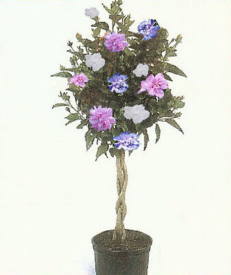 Rose Of Sharon Hibiscus Tree  3 N 1 Plant Colors 1 2 Ft  Dormant