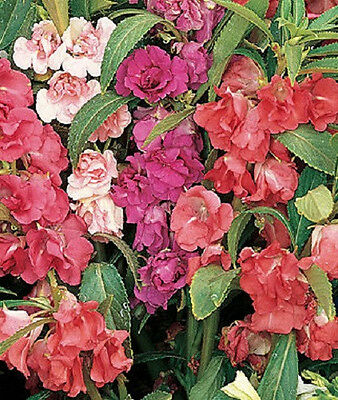 IMPATIENS TOM THUMB MIX FLOWER SEEDS FREE SHIPPING 25 FRESH SEEDS IMPATIENCE