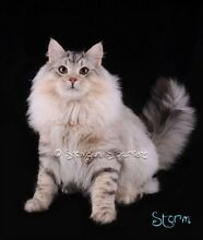 Siberian Breeder WANTED Ardross Melville Area Preview
