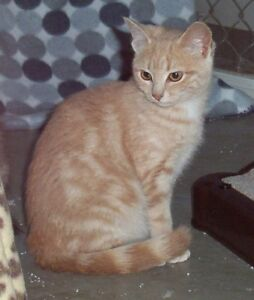 "Young Female Cat - Tabby - Orange: ""Narnia"""