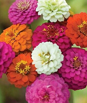 California Giant Zinnia Mix Heirloom Seeds- Approximately  300 Seeds 3.88g