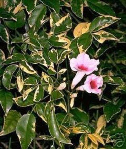 Wanga exotische Pflanzen Kletterpflanze für die Wohnung Zimmerpflanze Samen Deko