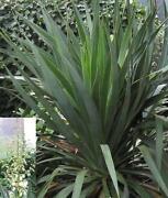 Yucca Winterhart