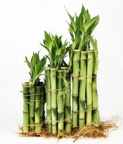 Bamboo stalks houseplants ebay