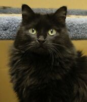 "Adult Female Cat - Cymric-Manx: ""Bonnie"""