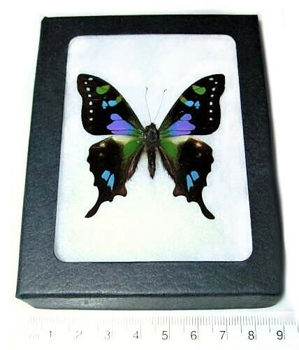 REAL FRAMED BUTTERFLY PINK PURPLE BLUE INDONESIAN GRAPHIUM WEISKEI