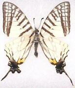Mounted Moth