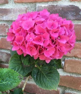 5 Pink Hydrangea Seeds Perennial Hardy Garden Shrub Bloom Bush Flowers Seed 382