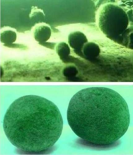 Moosball winterhart immergrüne Pflanze für den Gartenteich grüne Teichpflanzen