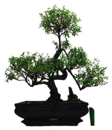 Indoor bonsai tree ebay - Large plants for indoors ...