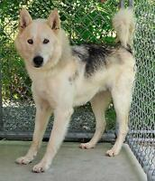 "Young Male Dog - Husky: ""Yukon"" Ottawa Ottawa / Gatineau Area Preview"