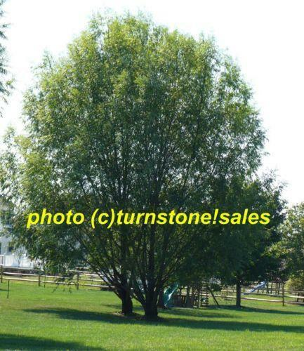 Hybrid Willow Trees Ebay