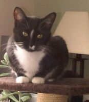 "Young Female Cat - Tuxedo: ""Abbey Dawn"""
