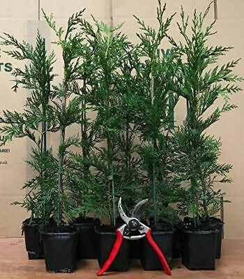 Green Leylandii Cupressocyparis Leylandii Hedging Trees Pack of 10 2FT Tall