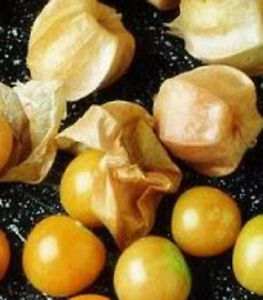 200 GROUND CHERRY Physalis Pubescens Golden Strawberry Lantern Vegetable Seeds