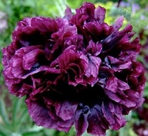 Poppy-Black-Peony-x50-seeds-Not-for-WA-or-TAS