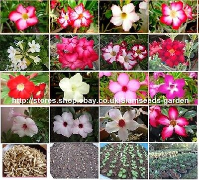 ADENIUM OBESUM 1000 SEEDS MIXED UNKNOWN COLOR  FRESH VIABLE SEEDS FROM MY GARDEN