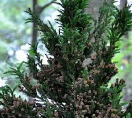 Black Dragon Cryptomeria Tree Japanese Cedar Live