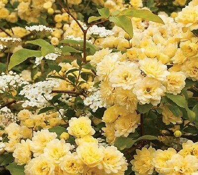 Heirloom Lady Banks  Yellow Climbing Rose Flower Seeds  Pack of 50 Fragrant