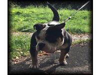 Old English bulldog NEBBR registered male 1 year 9 months gorgeous well behaved boy!