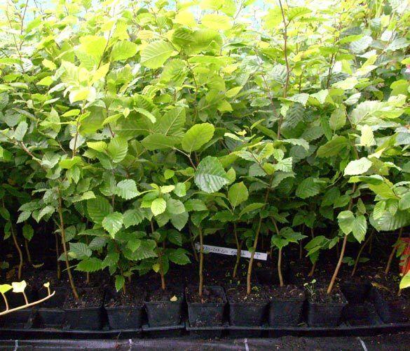 1 x Hainbuche Heckenpflanze im Topf Container winterhart