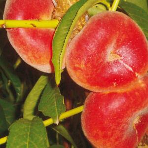 Piante alberi albero frutta pesco pesca gialla frutto for Alberi frutta vendita