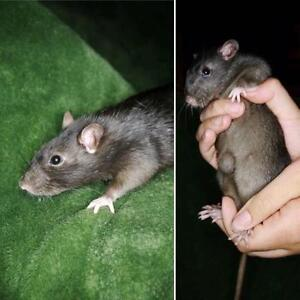 """Young Female Small & Furry - Rat: """"Spirit"""""""