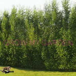 Austree Hybrid Tree Cutting (12)Fast  Windbreaks Privacy Willow Time of Year