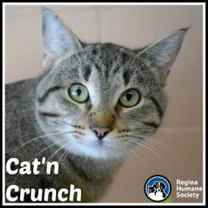 """Young Male Cat - Domestic Short Hair: """"Cat'n Crunch*"""""""
