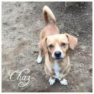 "Young Male Dog - Dachshund: ""Chaz"""