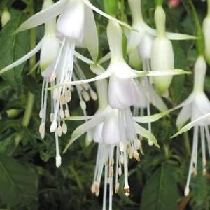 Pack x6 Hardy Bush Fuchsia 'Hawkshead' Summer Garden Plug Plants