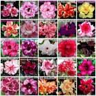 Adenium Desert Rose Flowering Cacti & Succulent Seeds